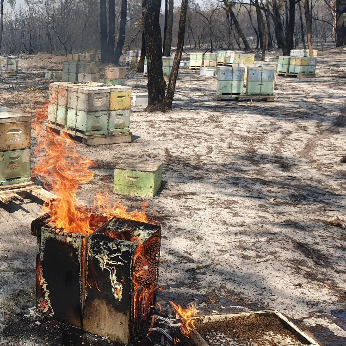 bushfire Capilano honey